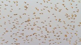 Кулики в полете на предпосылку серого неба Стоковое фото RF