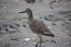 Кулик на песчаном пляже Стоковая Фотография RF