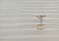 Кулик на пляже Стоковое Фото