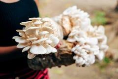 Культивирование гриба растя в культивировании гриба фермы в грибе органических ферм свежем растя на специальной почве Стоковое фото RF