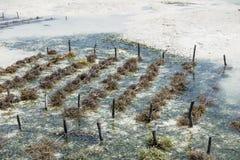 Культивирование Занзибара водорослей стоковая фотография rf