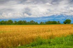 Культивирование пшеницы Стоковая Фотография