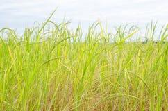 Культивирование риса Стоковое Фото