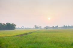 Культивирование риса Стоковая Фотография