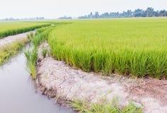Культивирование риса Стоковое Изображение