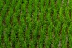 культивирование рисовой посадки Стоковое Фото