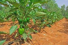 Культивирование Capsicum в Индии Стоковая Фотография RF