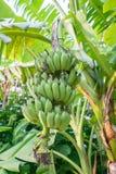 Культивируемый банан, банан Pisang Awak Стоковое Изображение RF