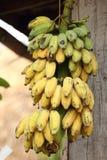 культивируемый банан Стоковые Фото