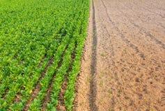 Культивируемый табак в плантации Стоковая Фотография RF