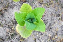 Культивируемый табак в плантации Стоковая Фотография