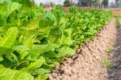 Культивируемый табак в плантации Стоковое Фото