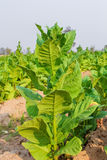 Культивируемый табак в плантации Стоковые Фотографии RF
