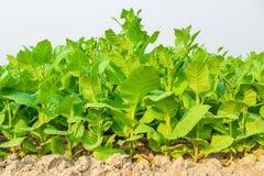 Культивируемый табак в плантации Стоковое Изображение RF