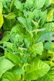 Культивируемый табак в плантации Стоковые Изображения RF
