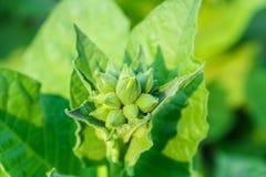 Культивируемый табак в плантации Стоковые Фото