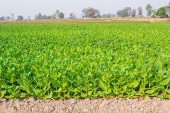 Культивируемый табак в плантации Стоковые Изображения