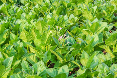 Культивируемый табак в плантации Стоковое Изображение