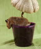 Классический любимчик золотого хомяка Стоковая Фотография RF