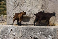 Кладбище черной козы идя старое Стоковые Фото