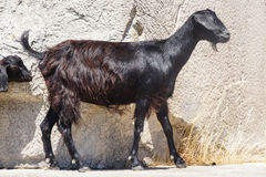 Кладбище черной козы идя старое Стоковая Фотография RF