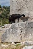 Кладбище черной козы идя старое Стоковые Фотографии RF