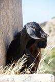 Кладбище черной козы идя старое Стоковое Фото