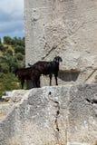 Кладбище черной козы идя старое Стоковые Изображения RF