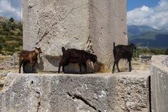 Кладбище черной козы идя старое Стоковое Изображение
