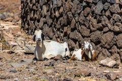 2 кладя козы - Канарские острова, Испания Стоковая Фотография