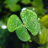 Клевер 4 лист с падением воды Стоковые Изображения RF