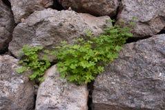 Клевер на сухой каменной стене Стоковое Изображение