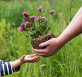Клевер цветет из рук в руки Стоковое Фото