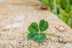 клевер 4-leaf на обочине стоковые фото