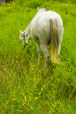 Клев белой лошади на злаковике - задней стороне Стоковые Фото