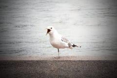 Клекоты чайки Crasy Стоковая Фотография