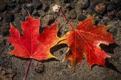 Кленовые листы в воде Стоковая Фотография RF