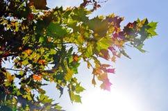Кленовые листы в небе Стоковая Фотография RF