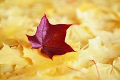 Кленовые листы в цветах осени Стоковые Фотографии RF
