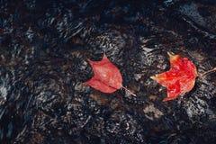 Кленовые листы красного цвета осени кленового листа осени красивые Стоковые Фотографии RF