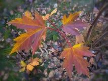 Кленовые листы красного цвета осени Стоковые Изображения