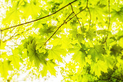 Кленовые листы на ветвях Стоковое Фото