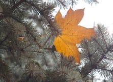 Кленовые листы на голубом спрусе Стоковые Изображения