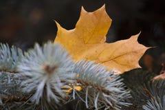 Кленовые листы на голубом спрусе Стоковые Изображения RF