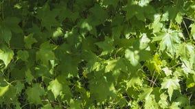 Кленовые листы на теплый день Стоковые Изображения RF