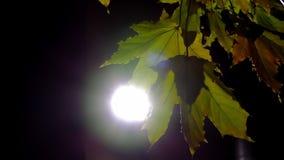 Кленовые листы на уличном свете переулка акции видеоматериалы