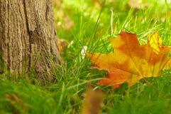 Кленовые листы осени в пуще Стоковая Фотография RF