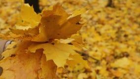 Кленовые листы осени в руках сток-видео
