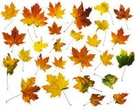 Кленовые листы осени с путями клиппирования Стоковая Фотография
