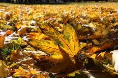 Кленовые листы падения Стоковое Изображение RF